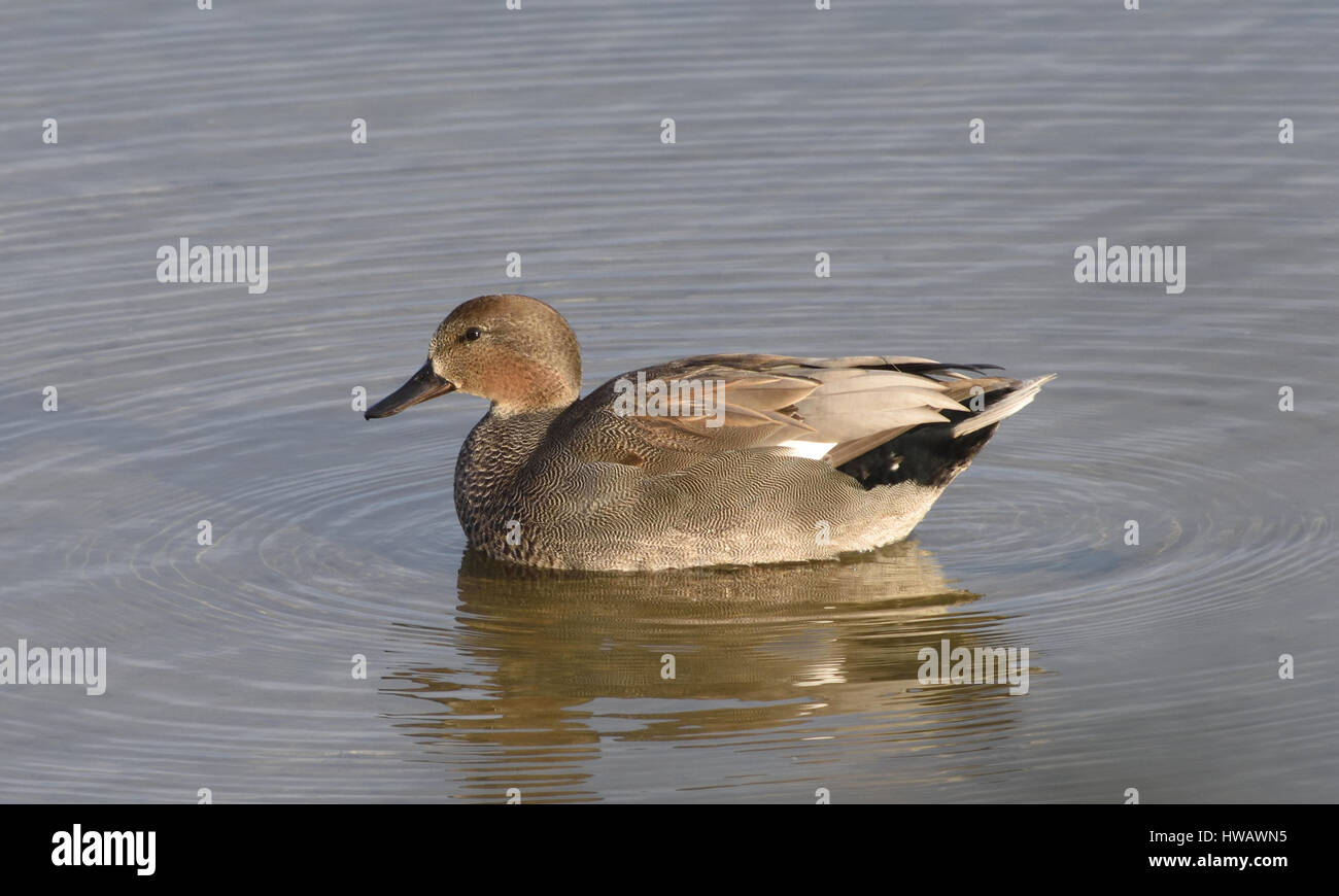 Male Gadwall (Anas strepera). Dungeness Nature Reserve, Dungeness, Kent, UK - Stock Image