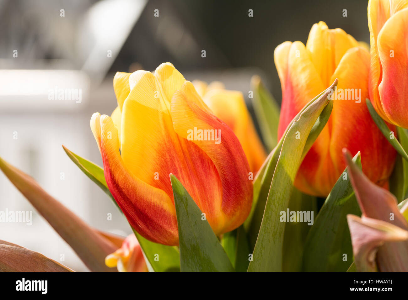 Orange Tulip Blossoms with green leaves in High Resolution - Macro - Stock Image