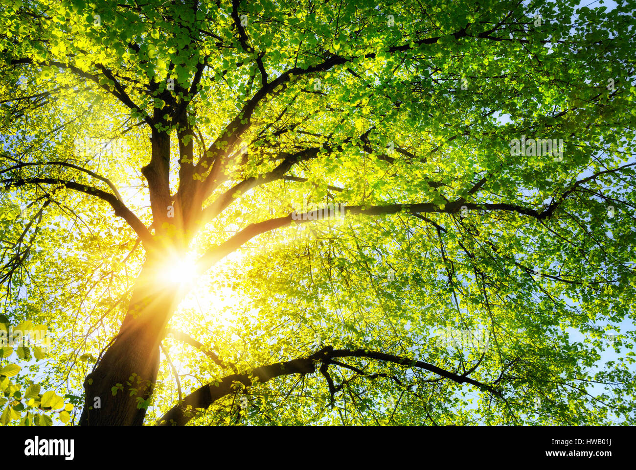 The sun shines warmly through the canopy of a green lime tree - Stock Image