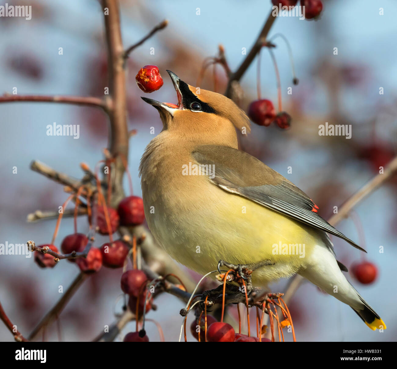 Cedar waxwing (Bombycilla cedrorum) feeding on crabapples, Ames, Iowa, USA. Stock Photo