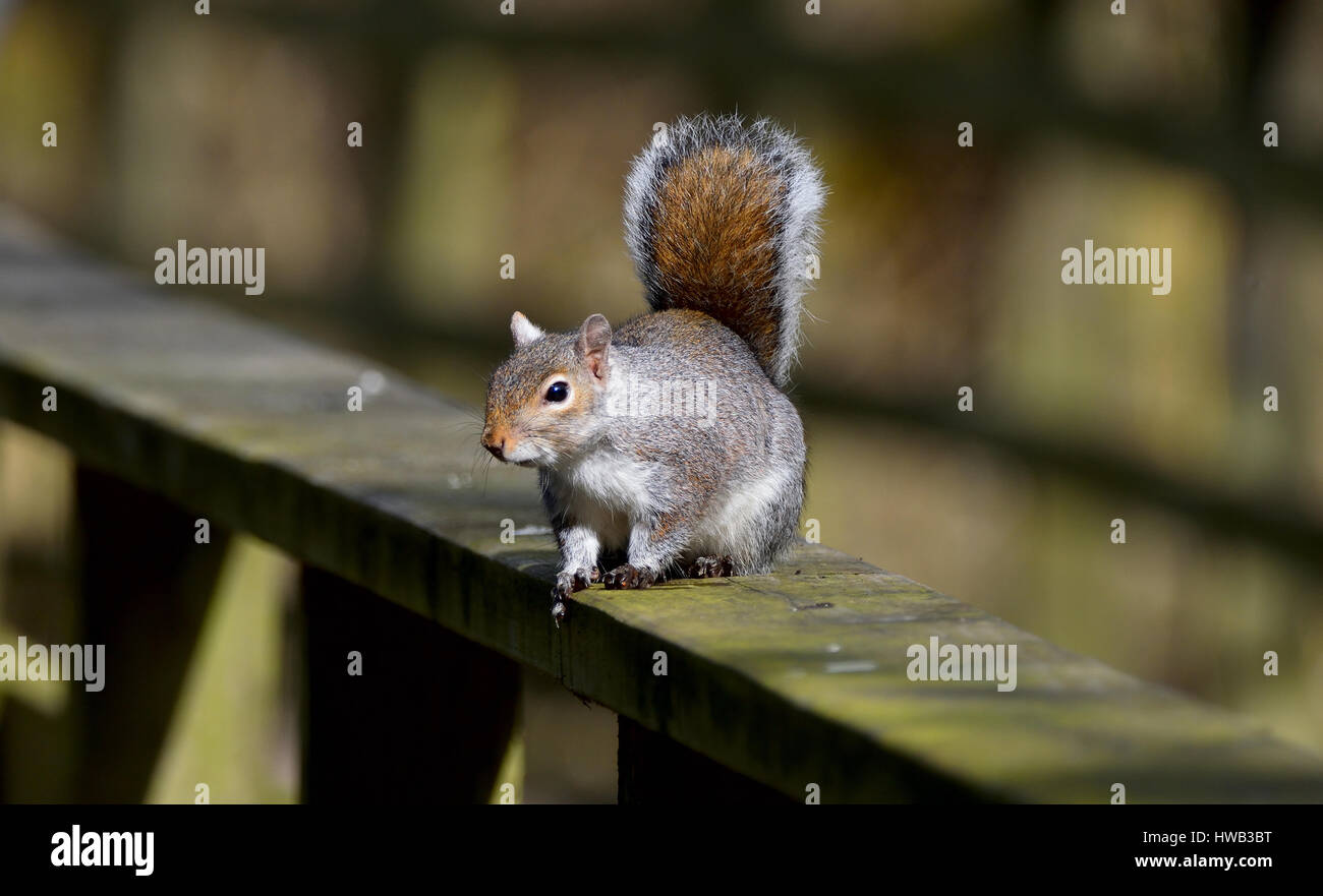 Squirrel at Hardwick Park - Stock Image