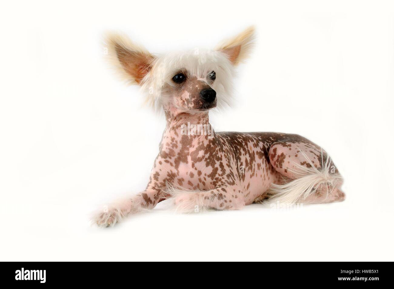 Chinese Crested Dog (Canis lupus familiaris) - Stock Image