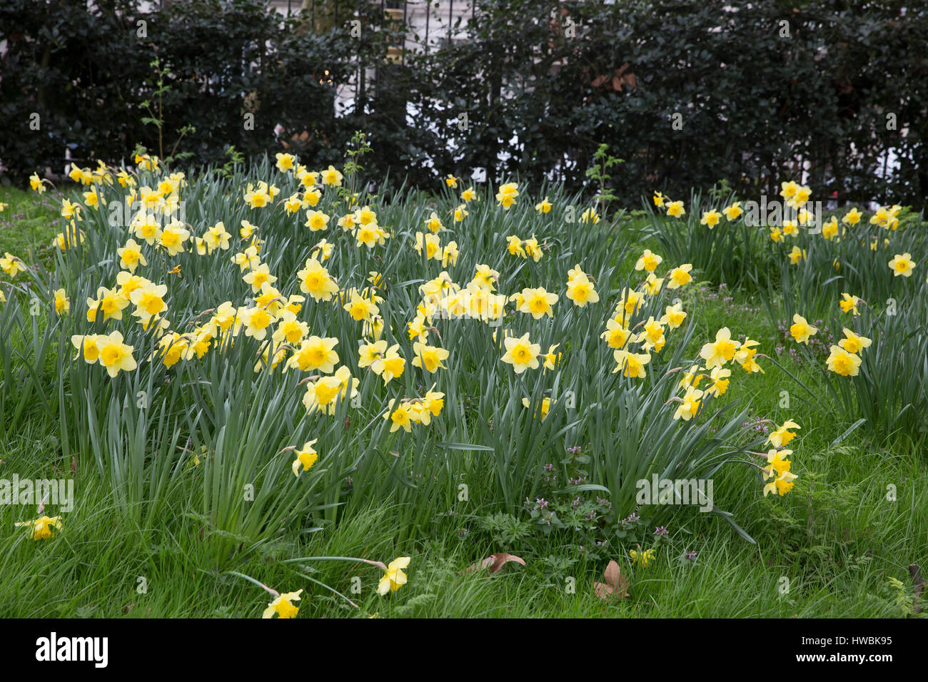 London, UK. 20th Mar, 2017. Daffodils in London on the first day of Spring Credit: keith Larby/Alamy Live News - Stock Image