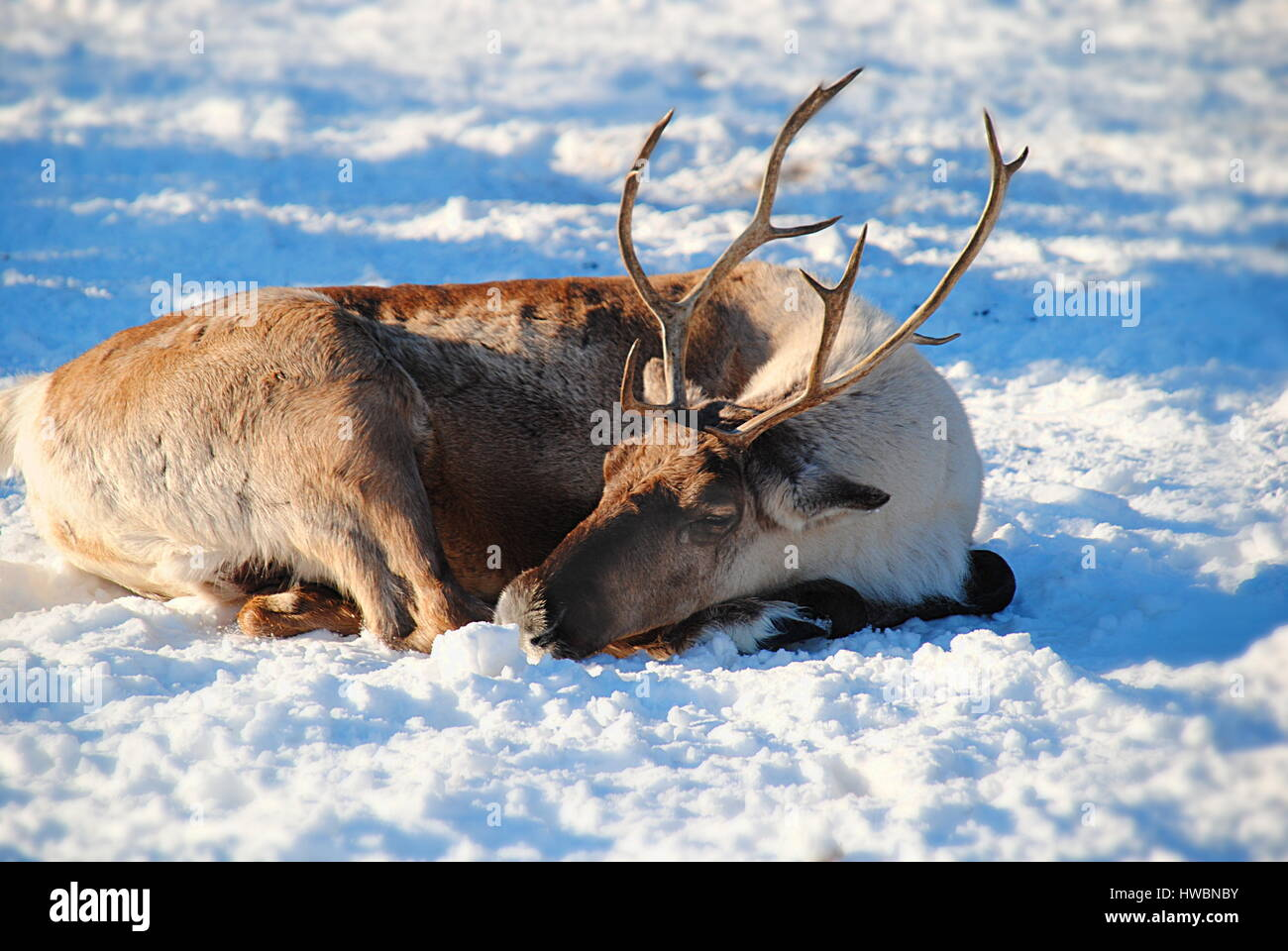 Woodland Caribou in the snow, Calgary Zoo, Canada - Stock Image