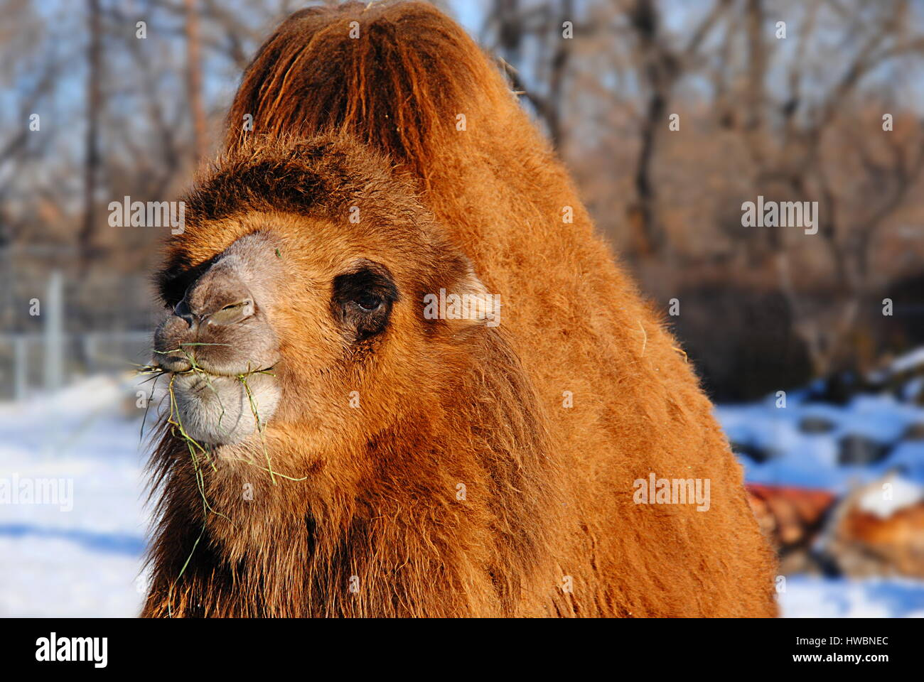 bactrian camel eating in the calgary zoo, canada - Stock Image