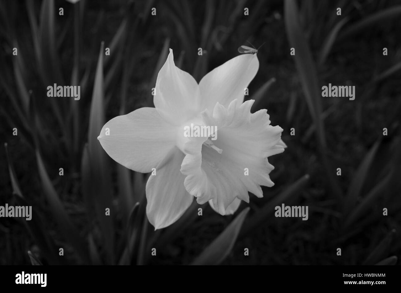 Beautiful Daffodil Flower In Black And White Nice Calm Poetic Photo