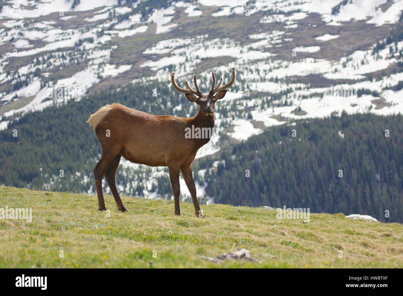 07f4b2ecb7f Bull elk walking above tree line in alpine meadow with snow capped peaks in  background Rocky Mountain National Park
