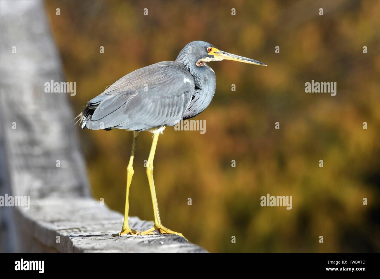 Herons at Green Cay nature center - Stock Image