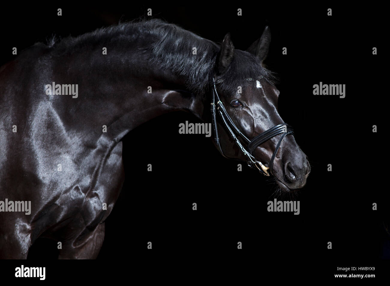 black horse on black background. beautiful shiny warmblood stallion with bridle. - Stock Image