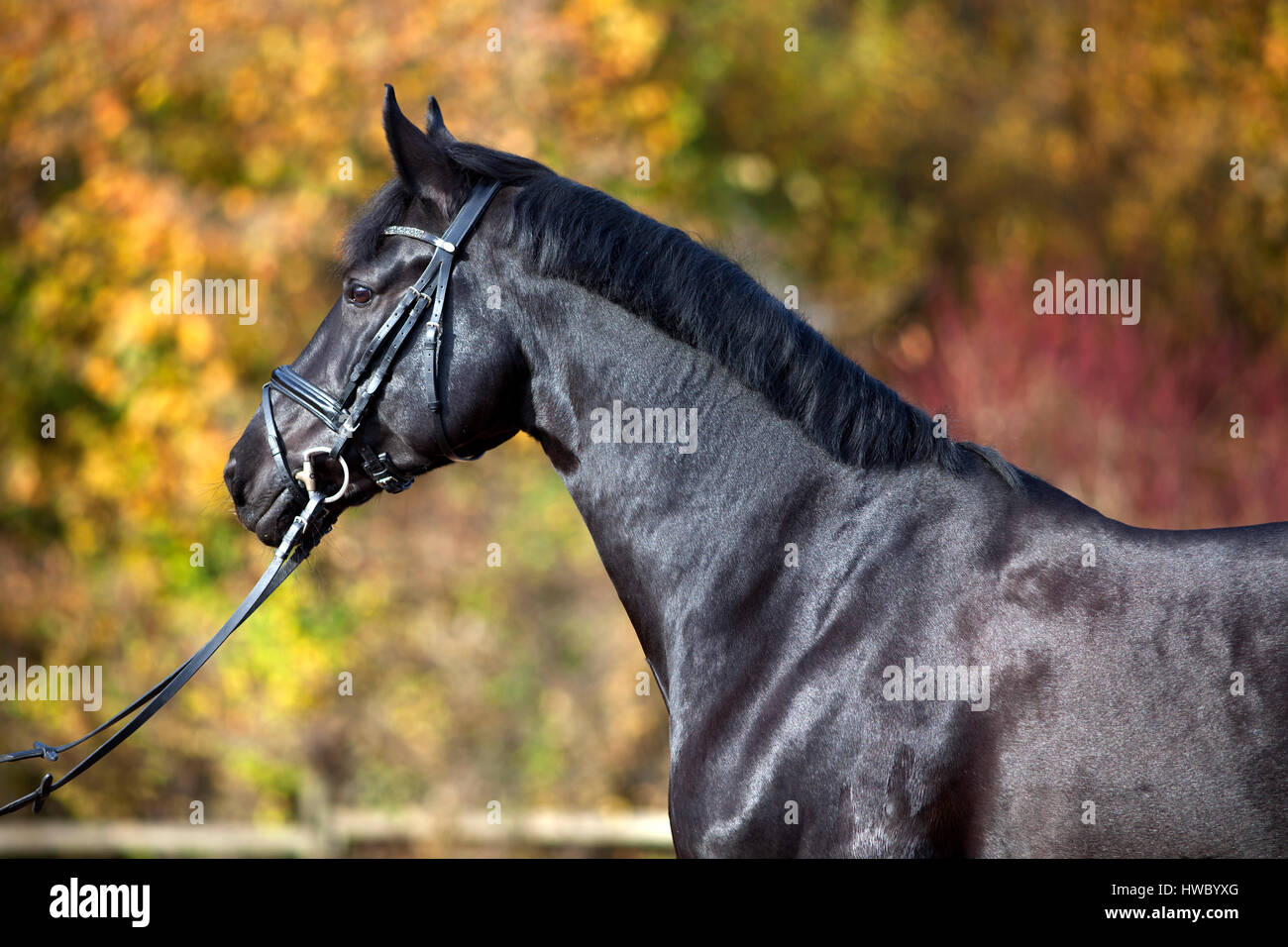 black horse portrait outside with colorful autumn leaves in background - Stock Image