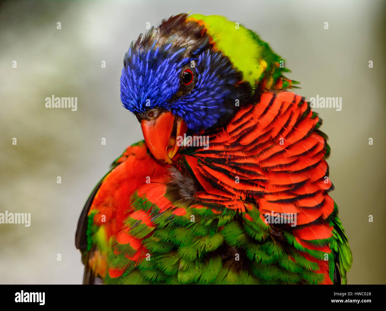 Rainbow lori (Trichoglossus moluccanus) close-up as he grooms his feathers. - Stock Image