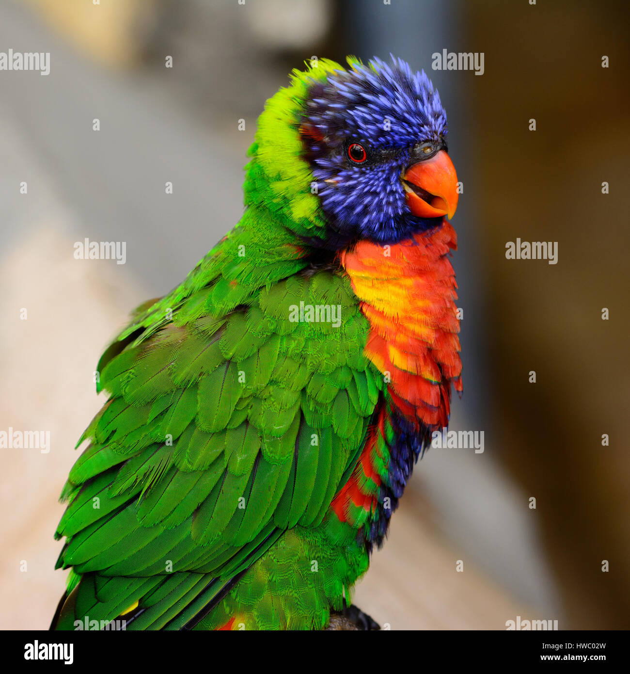 Rainbow lori (Trichoglossus moluccanus) with vivd eyes and plummage. Also called a lorikeet - Stock Image