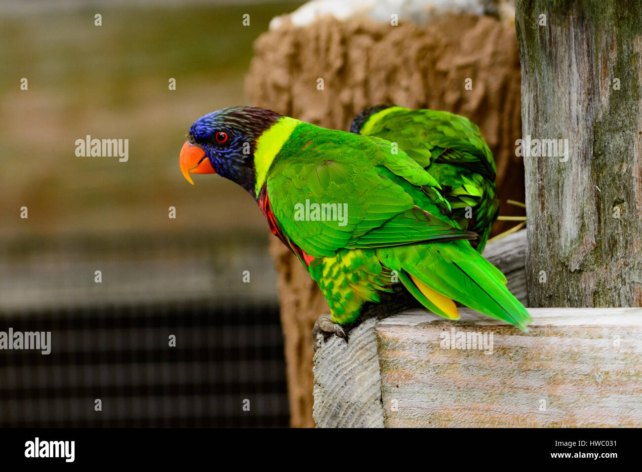 Rainbow lori (Trichoglossus moluccanus) perched in enclosure. Colorful, curious, clever birds. - Stock Image