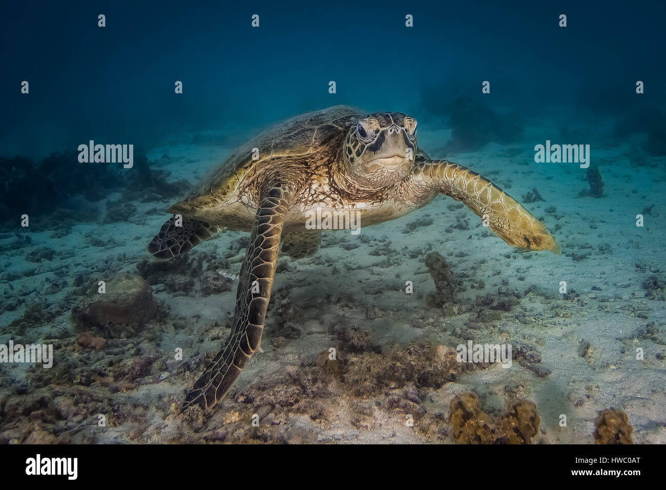 Green Sea Turtle (Chelonia mydas) - Stock Image