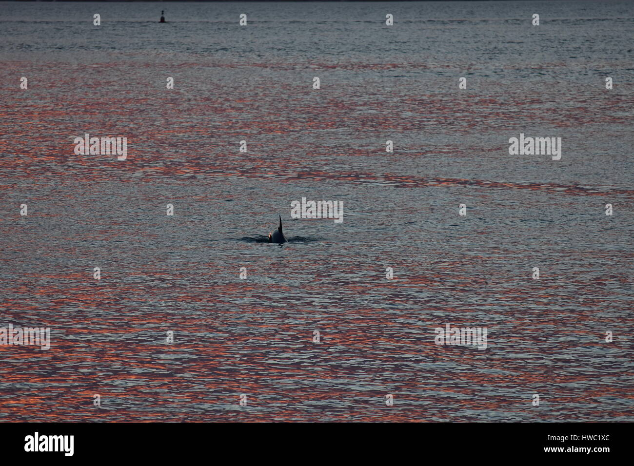 Dolphin showing dorsal fin on calm surface covered with red reflections of late evening sun light. Stock Photo