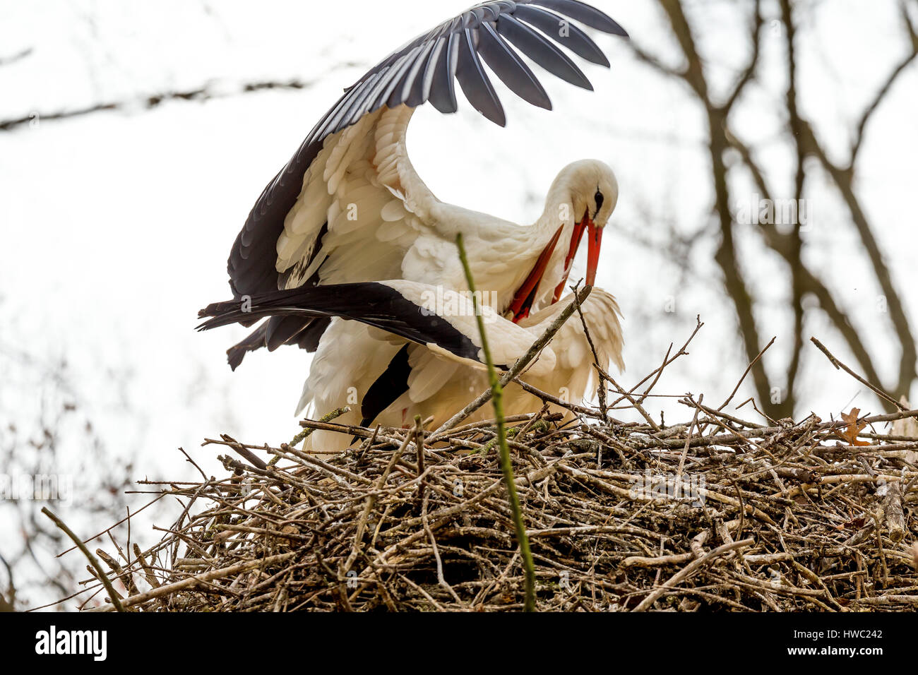 White stork courtship and mating behaviour. - Stock Image