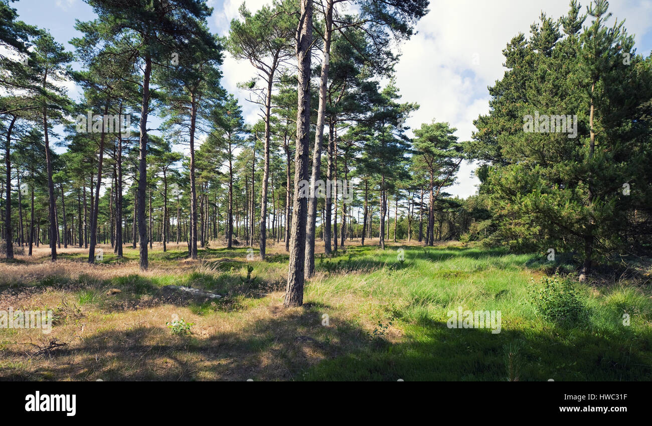coniferous forest in summer - Stock Image