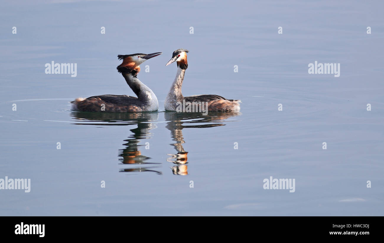 Great crested grebes mating ritual dance - Stock Image