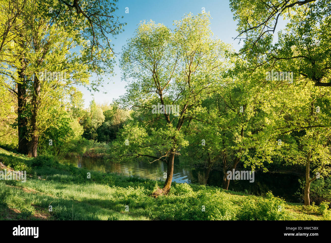 Green Willow Tree in Summer Park Forest Near River. Spring Nature ...