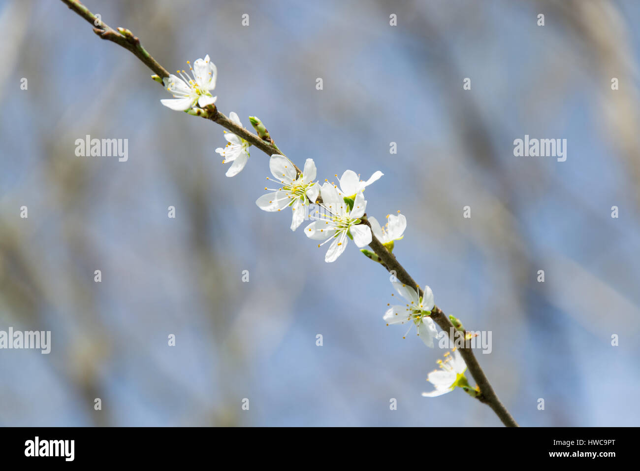 White plum tree stock photos white plum tree stock images alamy clouseup of white plum flower spring blossom stock image mightylinksfo