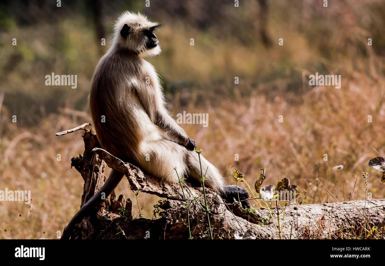 Bandhavgarh National Park; Gray langur - Stock Image