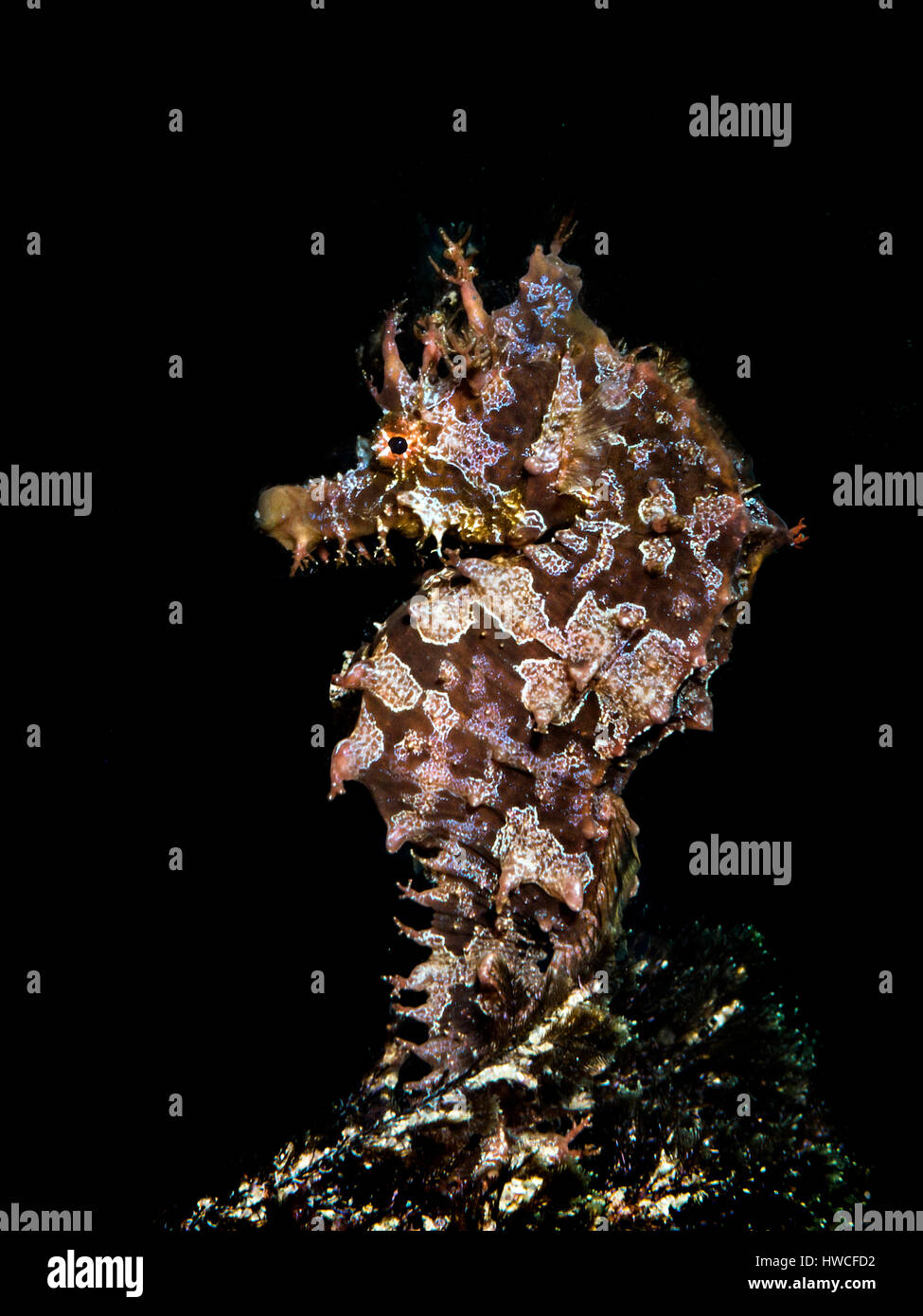 Short-snouted seahorse (Hippocampus hippocampus) Atlantic, Azores, Portugal - Stock Image