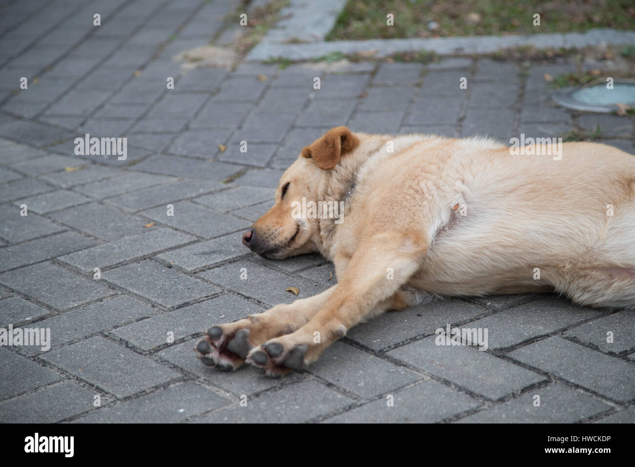 A Dog Sleeps on the Pavement outside the Po Lin Monastry near Hong Kong. - Stock Image
