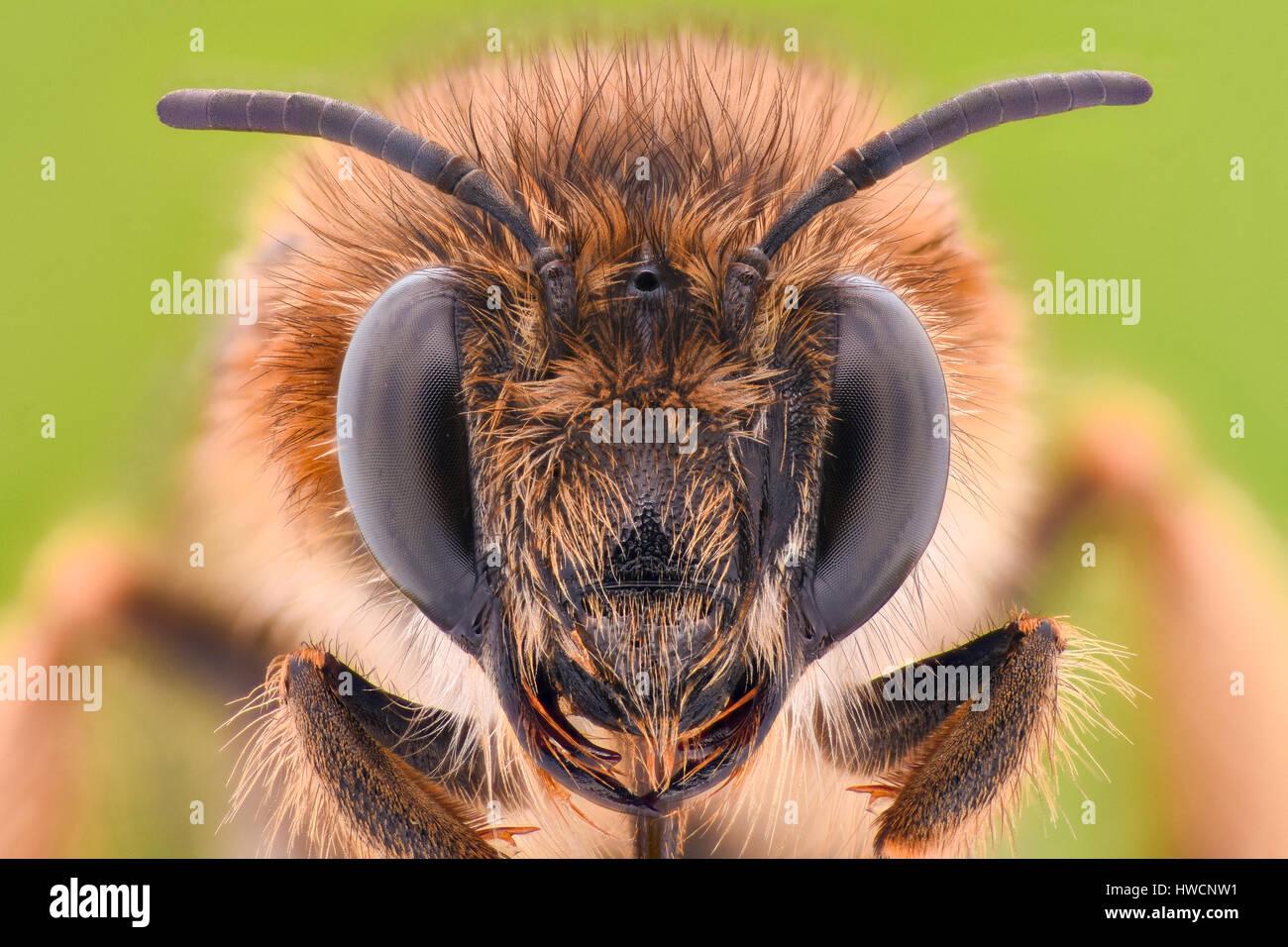 Extreme magnification - Honey Bee Stock Photo