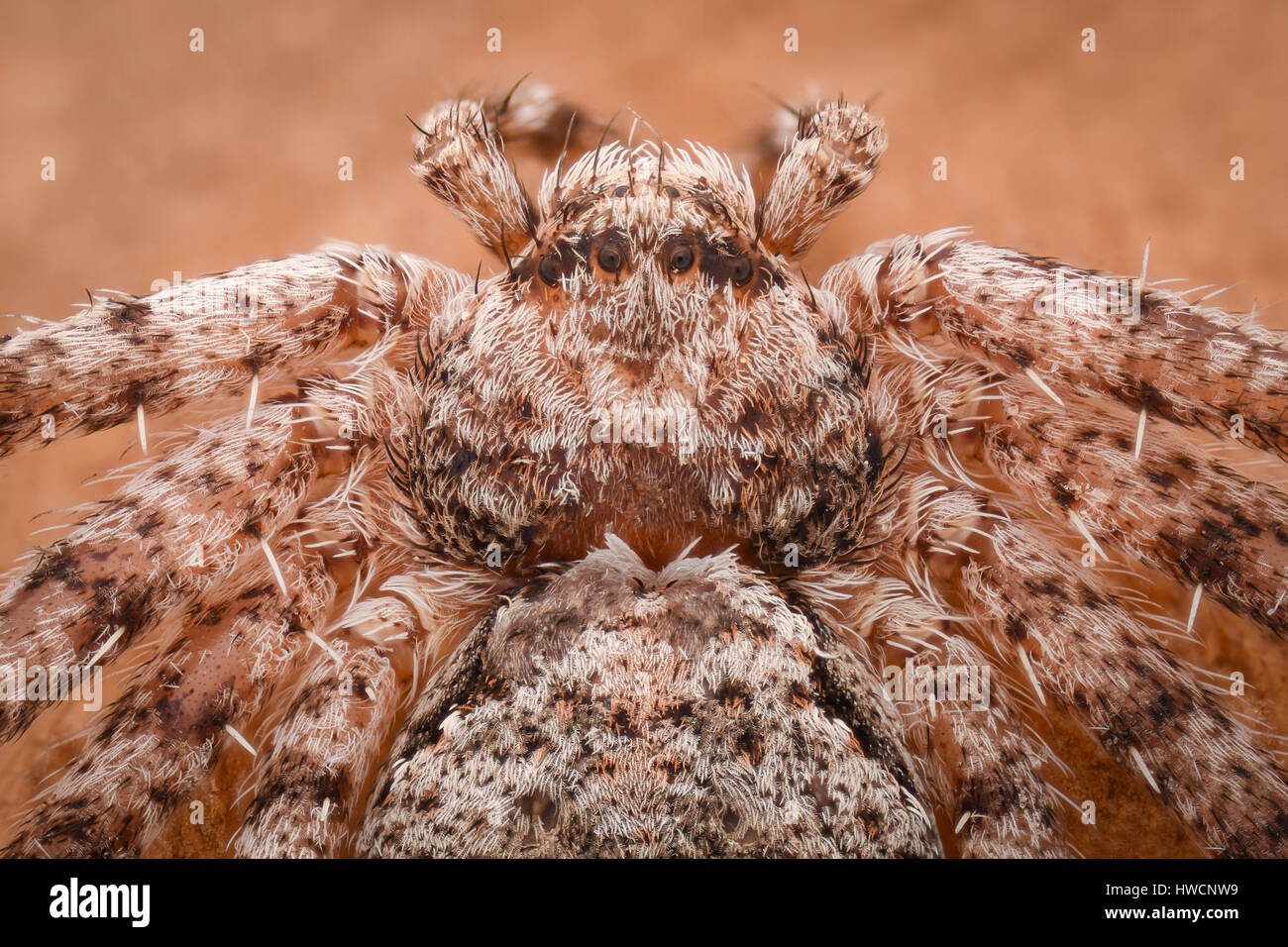 Extreme magnification - Crab spider - Stock Image