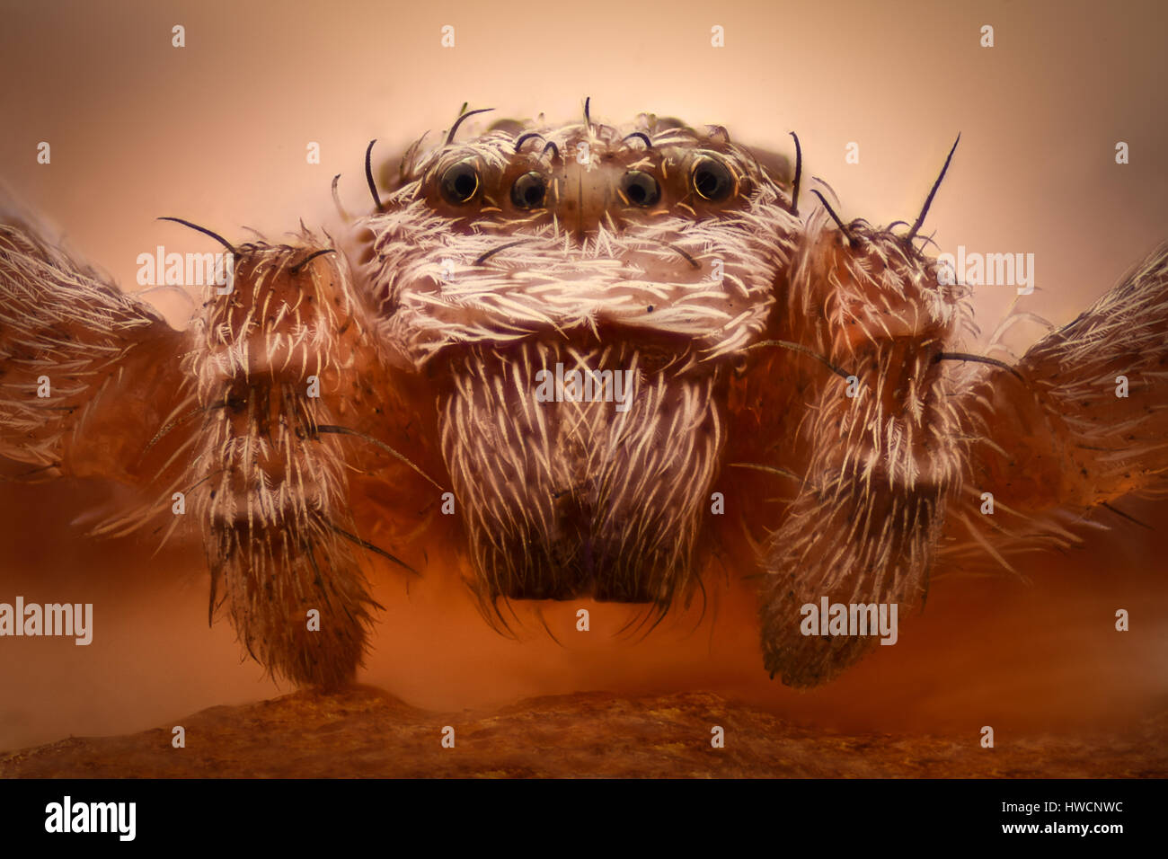 Extreme magnification - Crab spider head - Stock Image