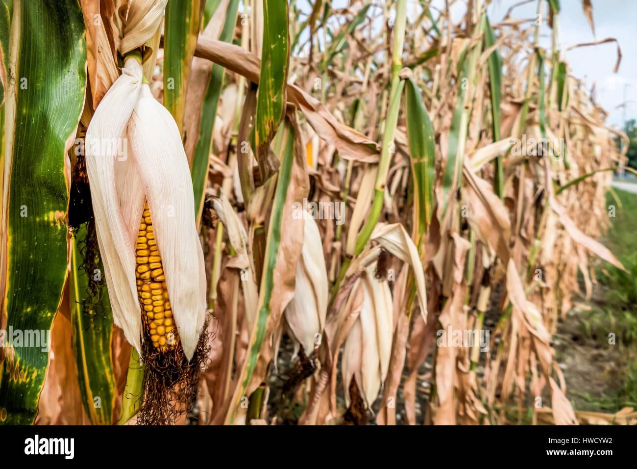 Dry damages in the agriculture. Corn field in the heat., Dürre Schäden in der Landwirtschaft. Maisfeld in der Hitze. Stock Photo