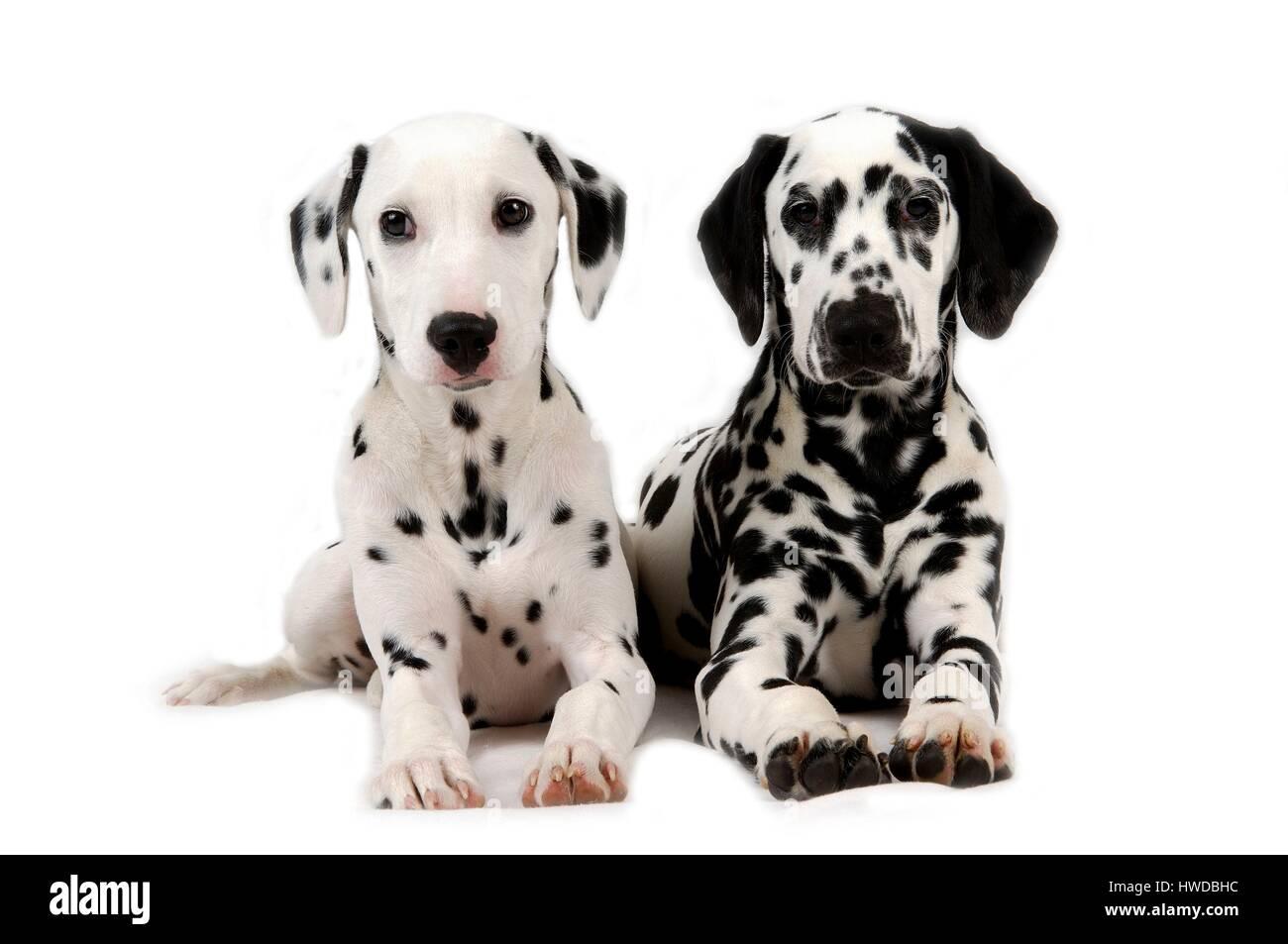Dalmatian dog (Canis lupus familiaris) - Stock Image