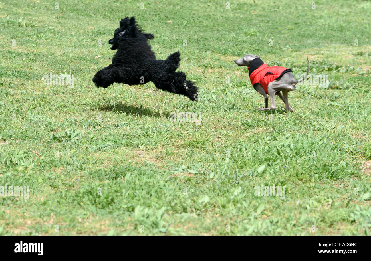 Playful Black Miniature Poodle and Italian Greyhound running and playing on the grass outside - Stock Image