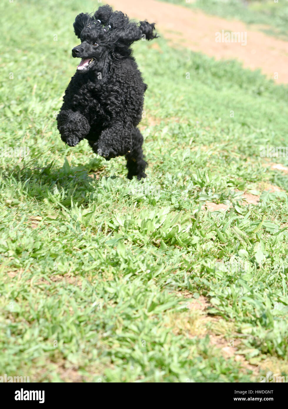 Playful Black Miniature Poodle running on the grass outside - Stock Image