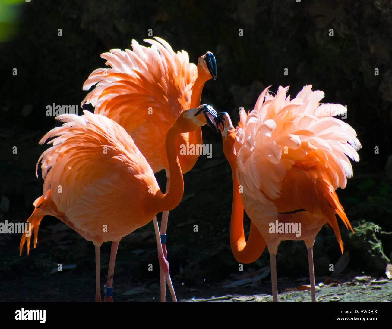 Three flamingos fighting over territory - Stock Image