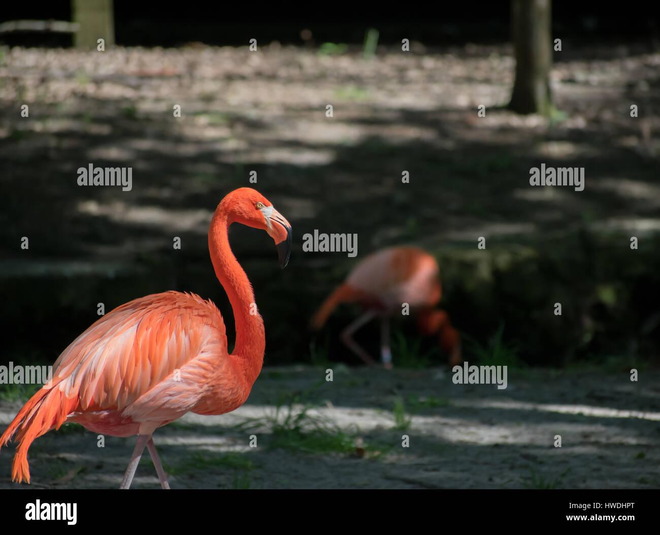 Flamingo in motion - Stock Image