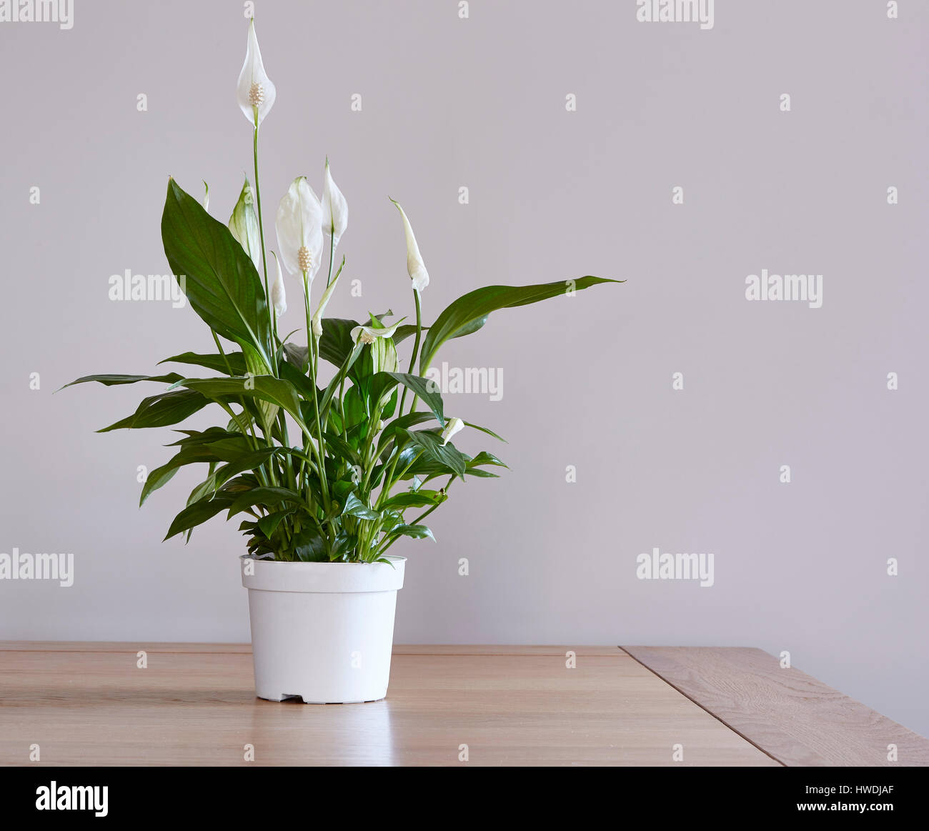 Potted Peace Lily Plant Stock Photos & Potted Peace Lily Plant Stock on corn plant houseplant, bamboo palm houseplant, dragon tree houseplant, kentia palm houseplant, snake plant houseplant, kalanchoe houseplant, begonia houseplant, nephthytis houseplant, rubber plant houseplant, philodendron houseplant, purple wandering jew houseplant, ivy houseplant, cactus houseplant, rubber tree houseplant, schefflera houseplant, dieffenbachia houseplant, boston fern houseplant, peperomia houseplant, dracaena houseplant,