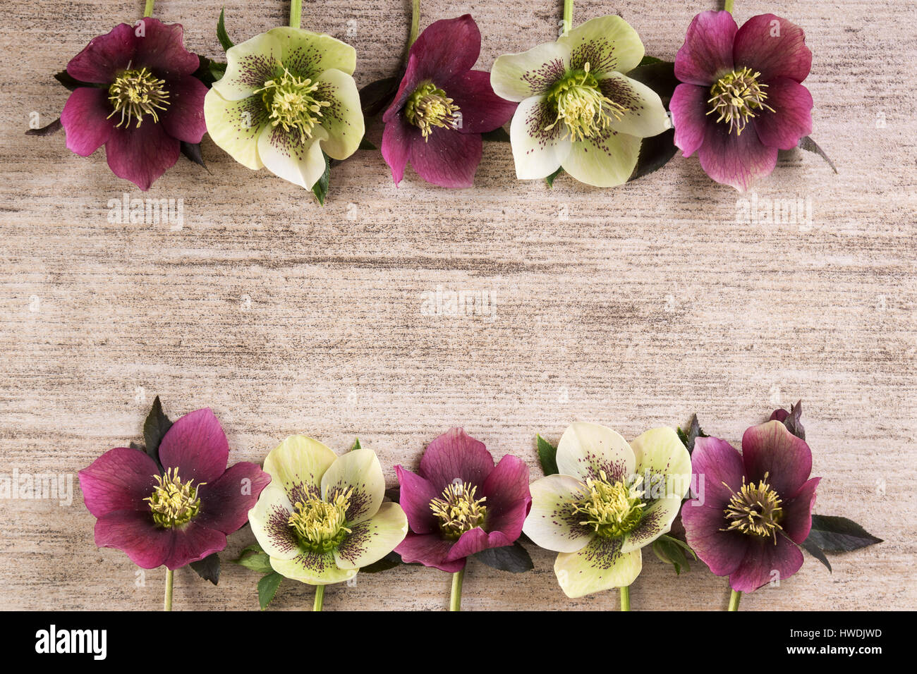 Frame Spring Flowers Lenten Rose In A Row On Light Brown Rustic Background Copy Space