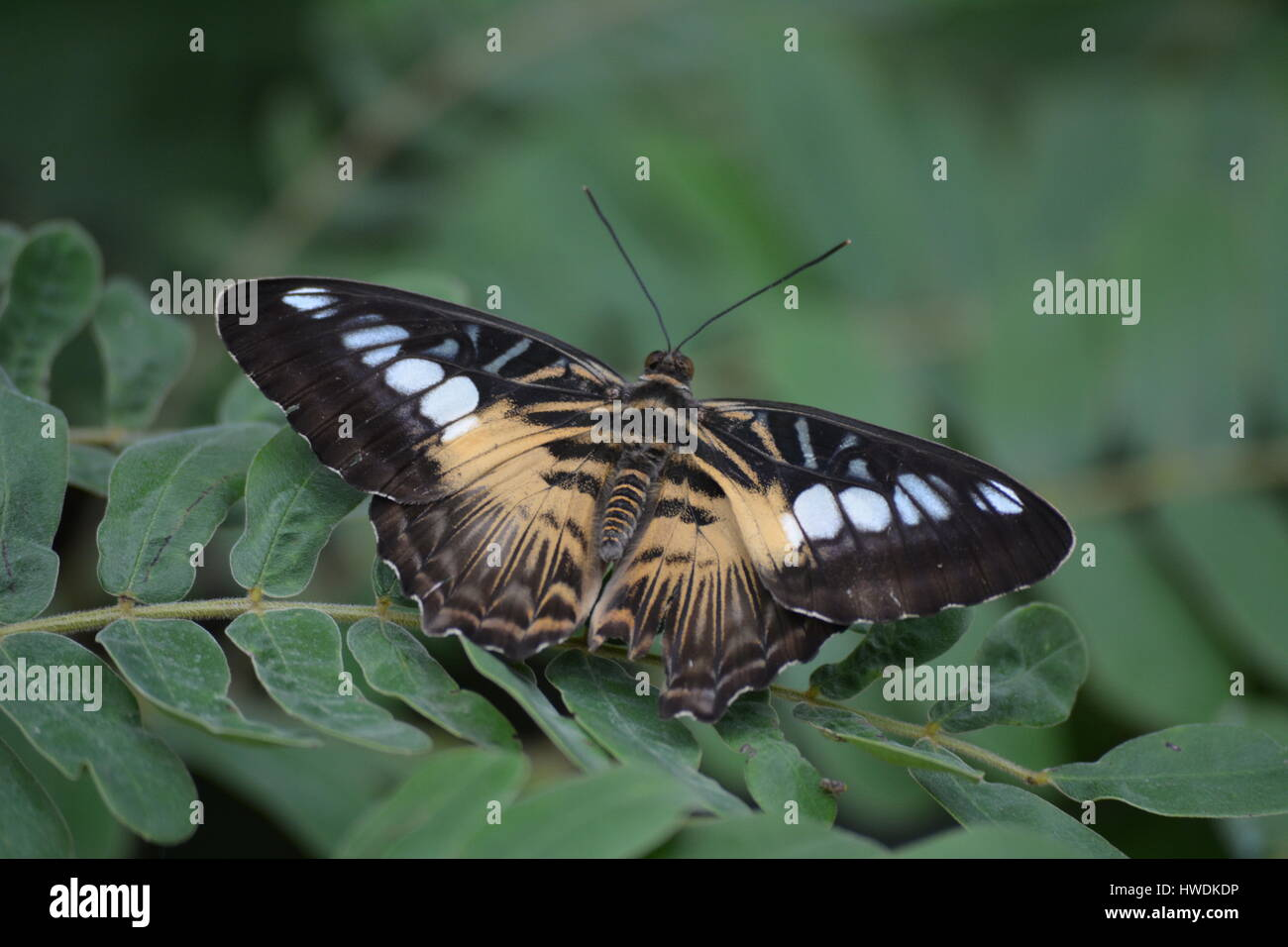 Butterlfy Spreading its Wings - Stock Image
