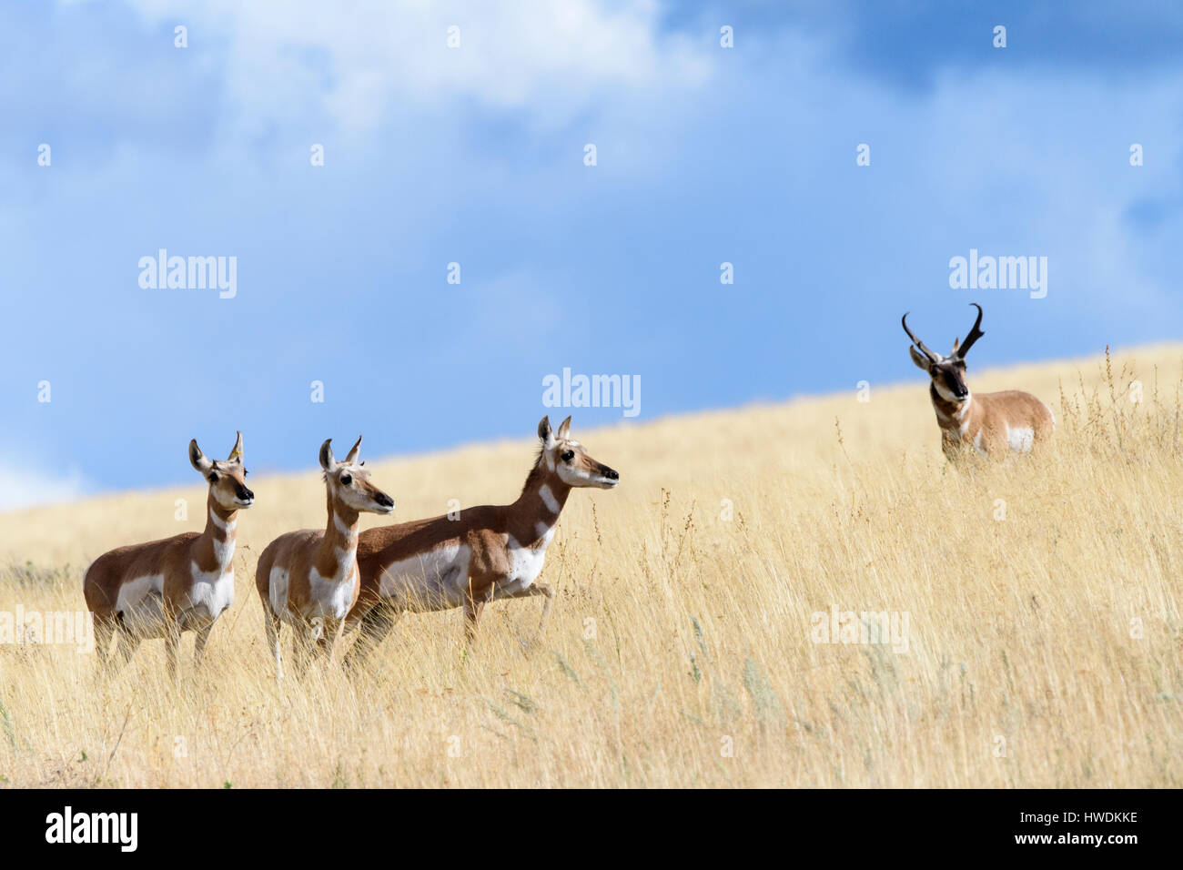 A pronghorn buck (Antilocapra americana) watches over a band of does during thr Autumn mating rut, North America - Stock Image