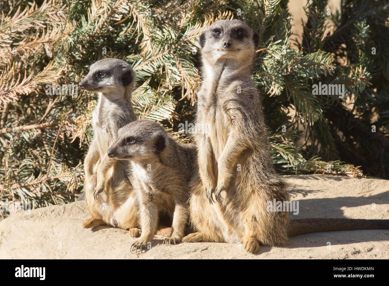 Meerkat or Suricate (Suricata suricatta). Trio, family members. - Stock Image