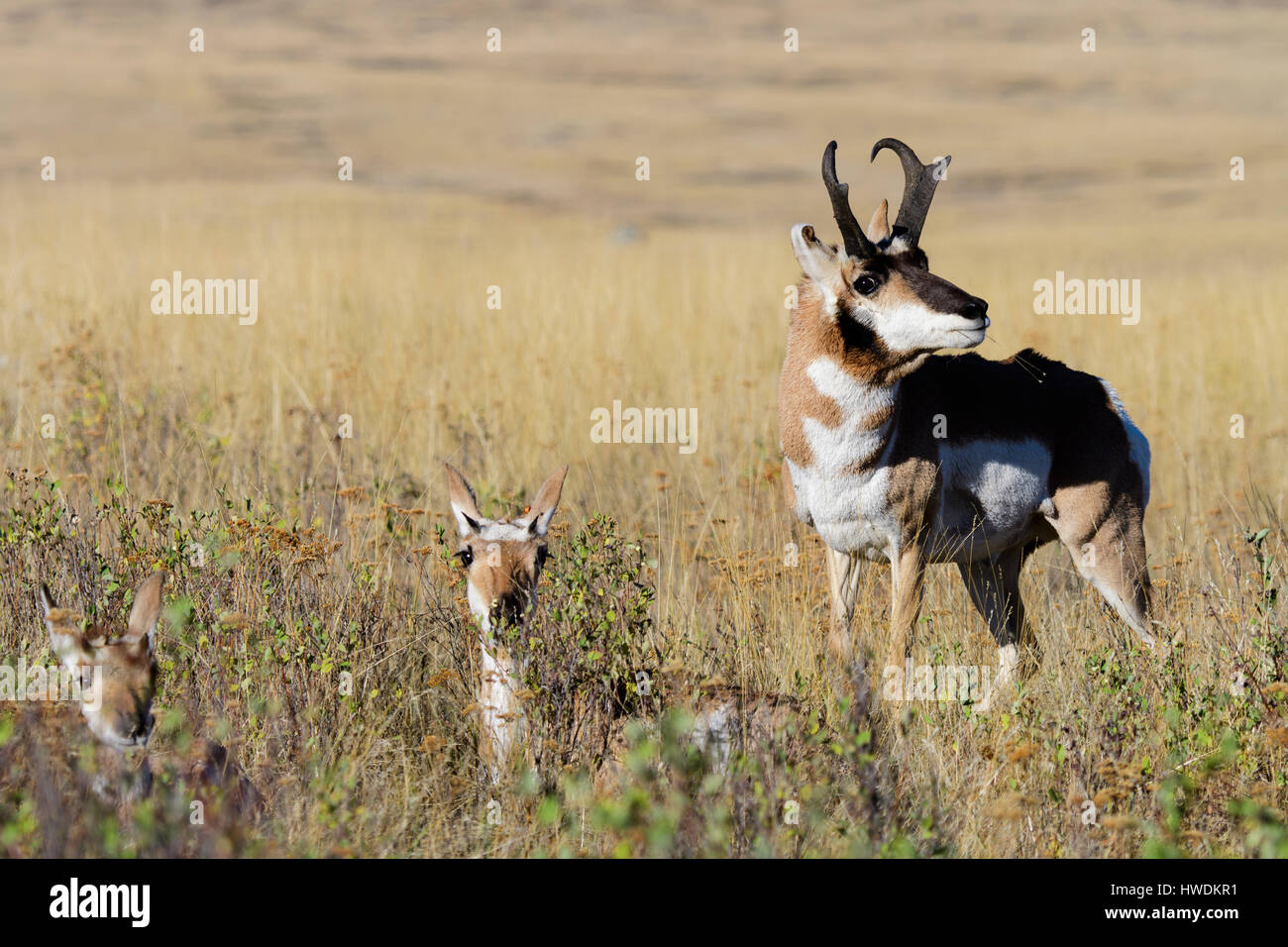 A pronghorn buck (Antilocapra americana)  stares down a prospective mate during the Fall rut, North America - Stock Image