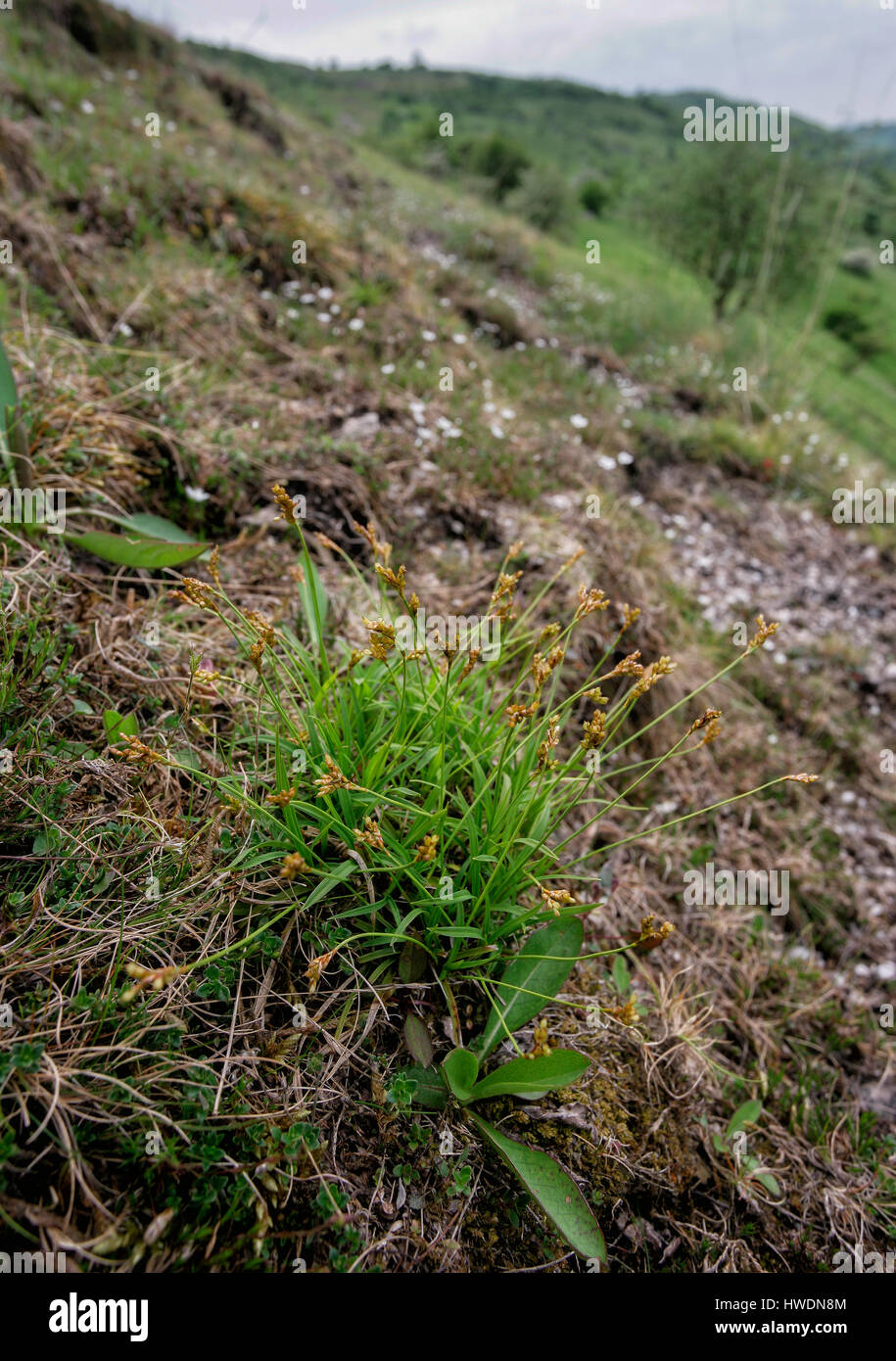 The rare bird's foot sedge Carex ornithopoda at Burfoot above Miller's Dale in the Derbyshire Peak District - Stock Image