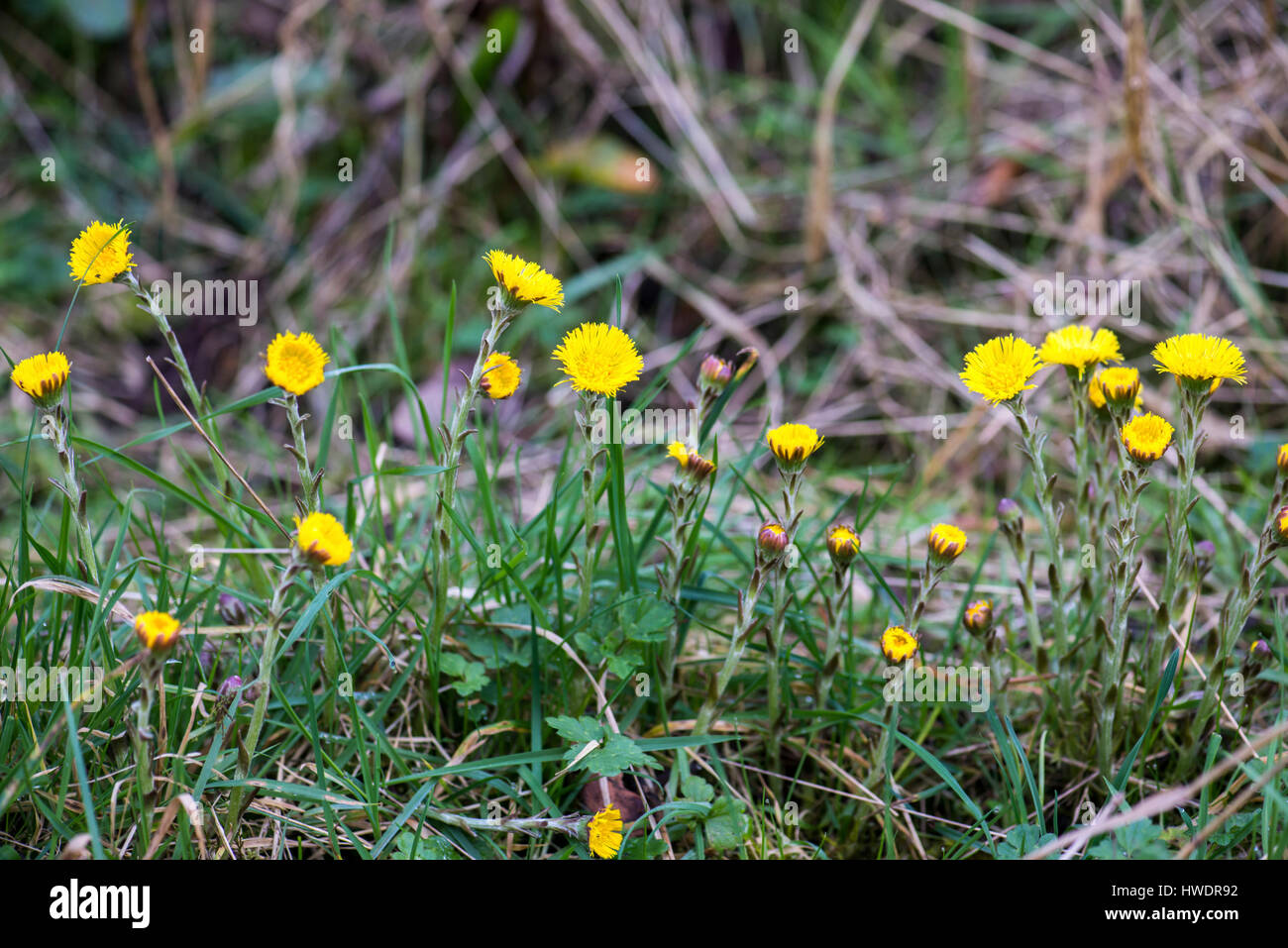 Coltsfoot (Tussilago farfara). A plant of calcareous clay soils in early spring. Formerly used as a herbal remedy - Stock Image