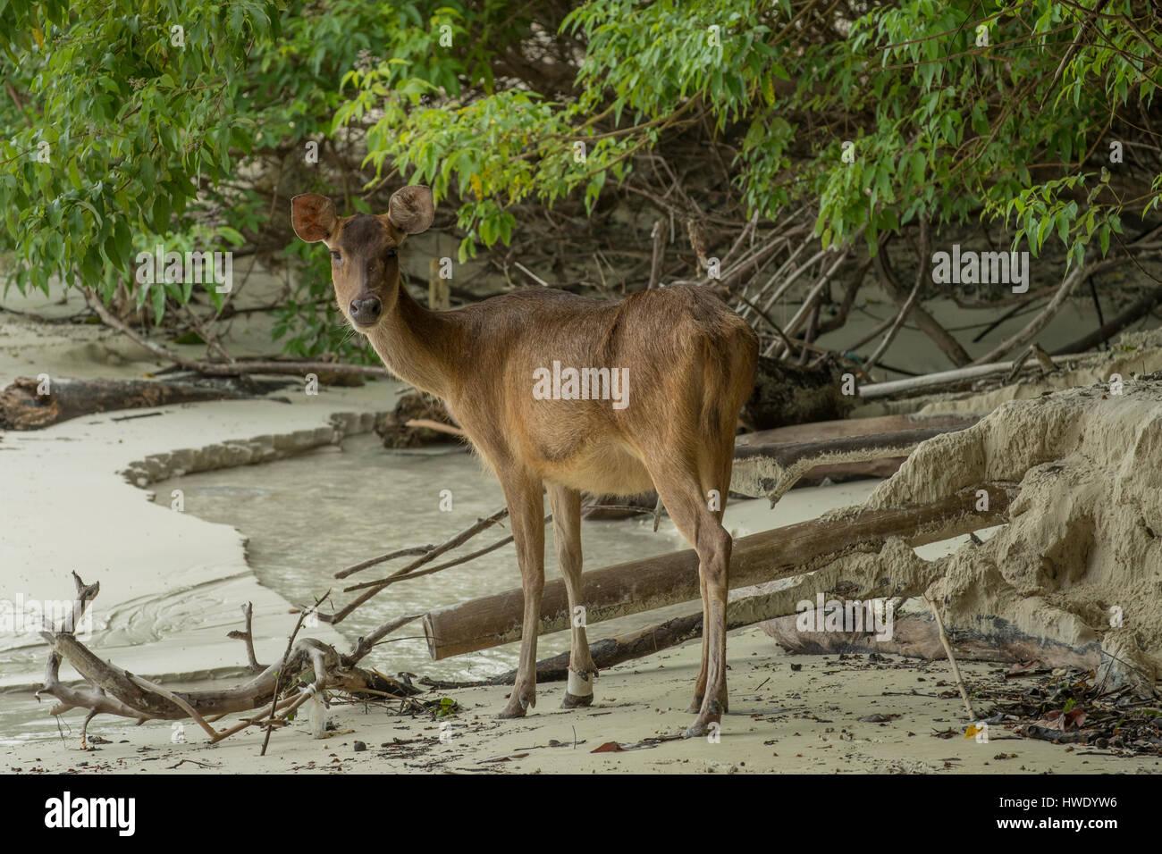 Sunda Sambar Deer, Rusa timorensis in Ujung Kulon National Park - Stock Image