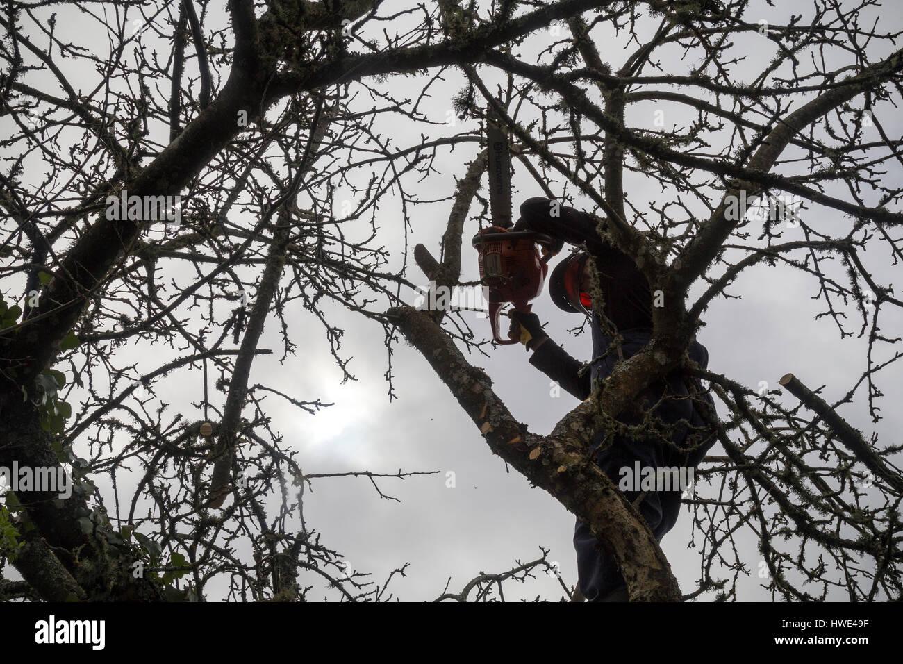 lumberjack,tree surgeon or Arborist walks up a cart track to pollard a bramley tree with a husqvarna chainsaw - Stock Image