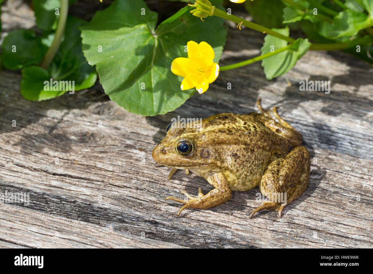 Teichfrosch, Teich-Frosch, Grünfrosch, Wasserfrosch, Grün-Frosch, Wasser-Frosch, Frosch, Frösche, - Stock Image