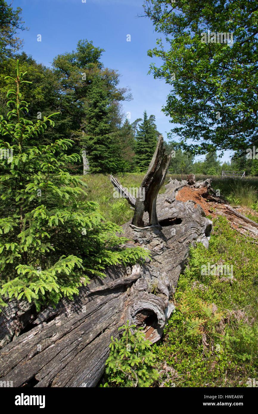 Totholz, Holz, Stamm, als Lebensraum für Tiere, alter abgestorbener Eichenstamm, Eiche, deadwood, dead wood - Stock Image