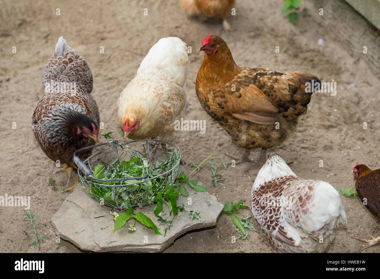 Wildkräuter für Hühner, Hühner fressen geerntete Kräuter. Spitz-Wegerich, Gänseblümchen, - Stock Image