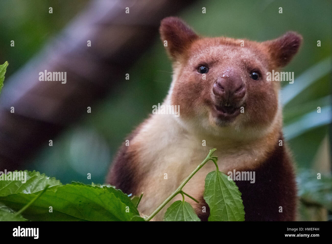 Tree Kangaroo - Stock Image